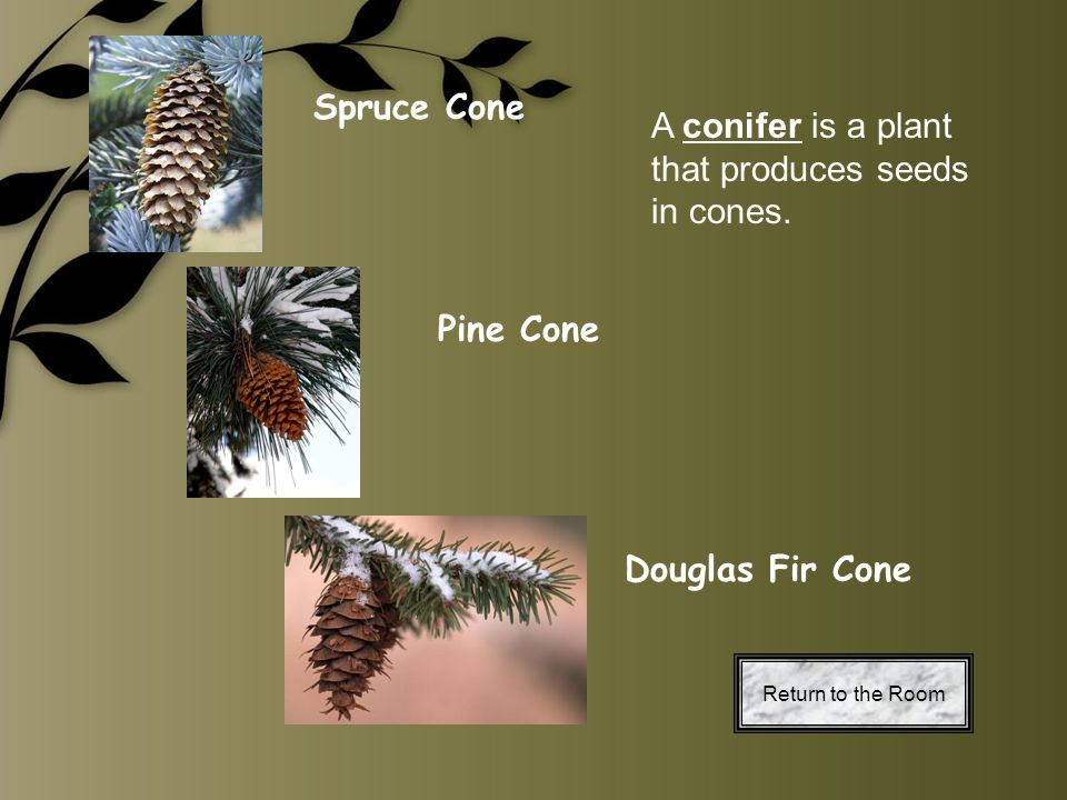 A conifer is a plant that produces seeds in cones.