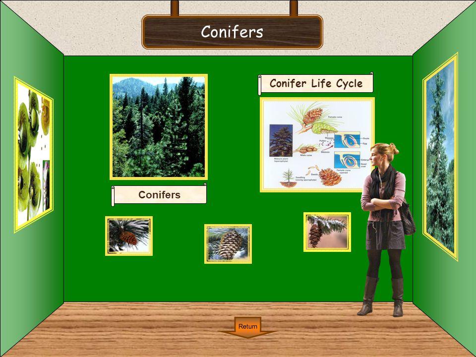 Conifers Conifer Life Cycle Conifers Return