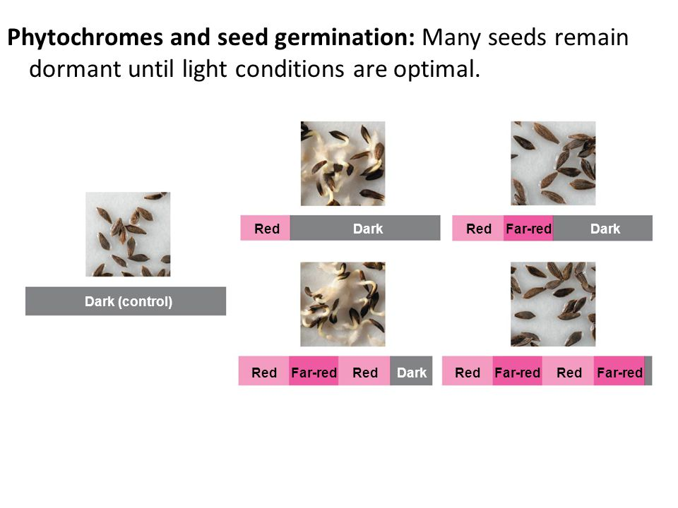 Phytochromes and seed germination: Many seeds remain dormant until light conditions are optimal.