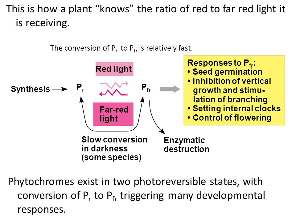 This is how a plant knows the ratio of red to far red light it is receiving.