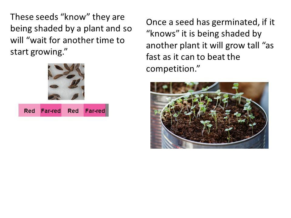 These seeds know they are being shaded by a plant and so will wait for another time to start growing.