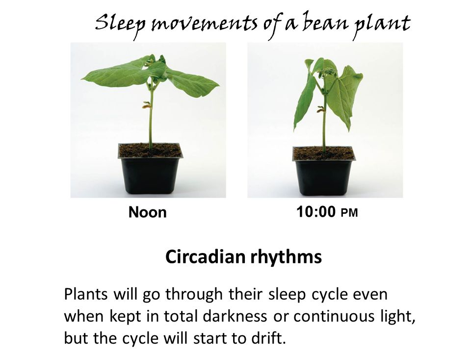 Sleep movements of a bean plant