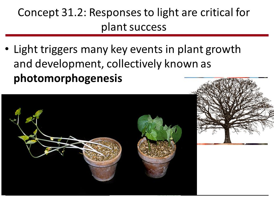 Concept 31.2: Responses to light are critical for plant success