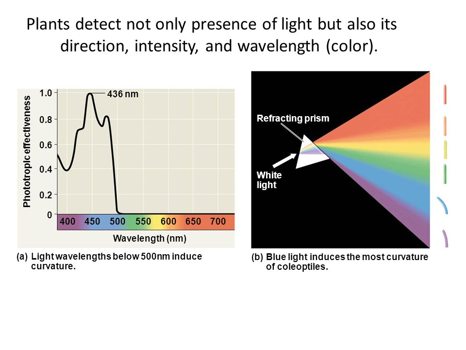 Plants detect not only presence of light but also its direction, intensity, and wavelength (color).