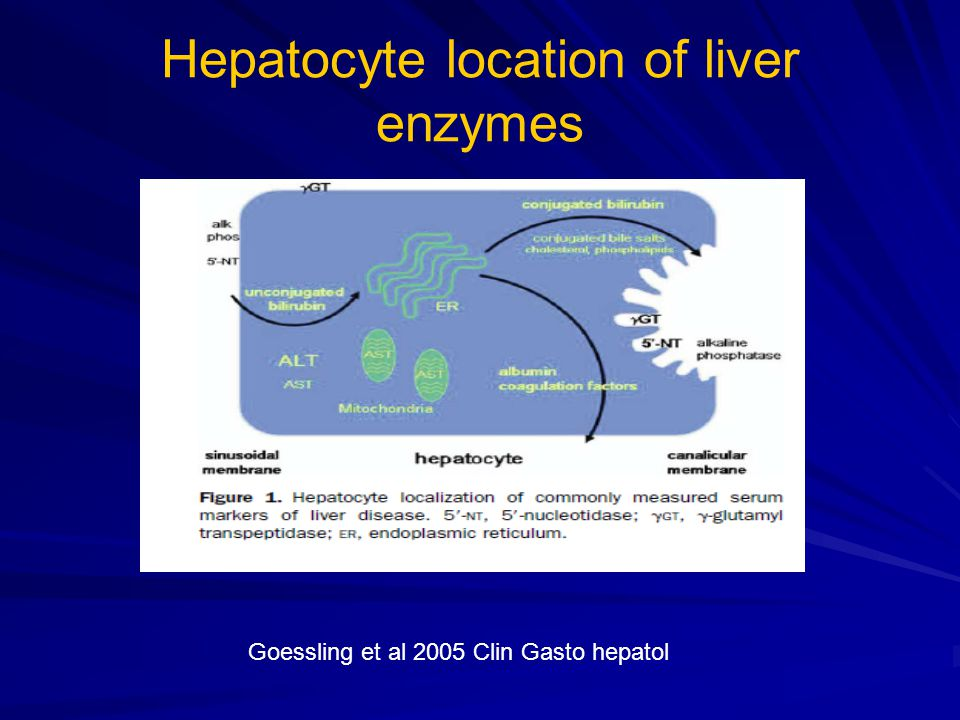 Hepatocyte location of liver enzymes