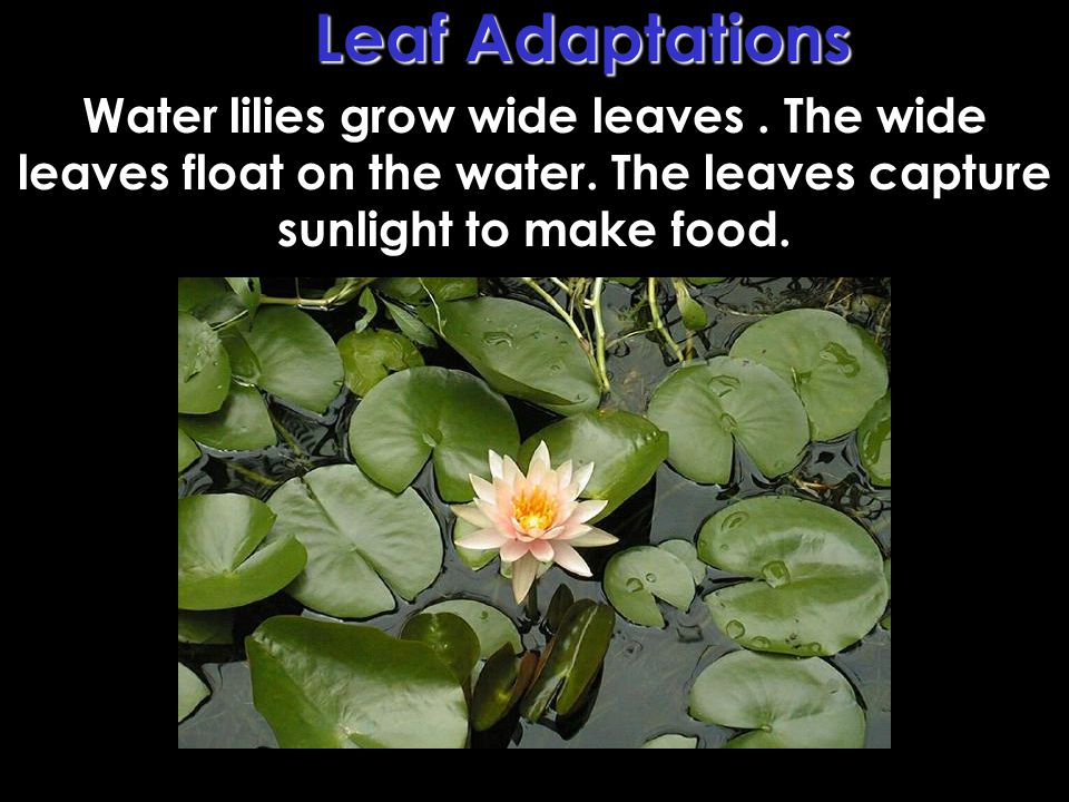 Leaf Adaptations Water lilies grow wide leaves . The wide leaves float on the water.