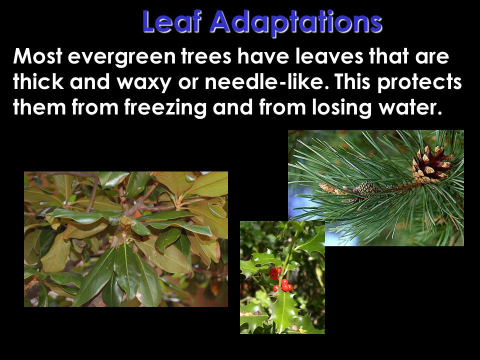 Leaf Adaptations Most evergreen trees have leaves that are thick and waxy or needle-like.