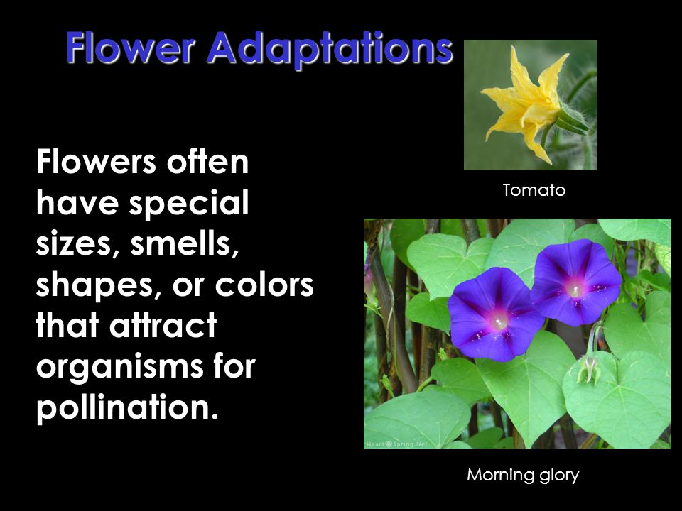 Flower Adaptations Flowers often have special sizes, smells, shapes, or colors that attract organisms for pollination.