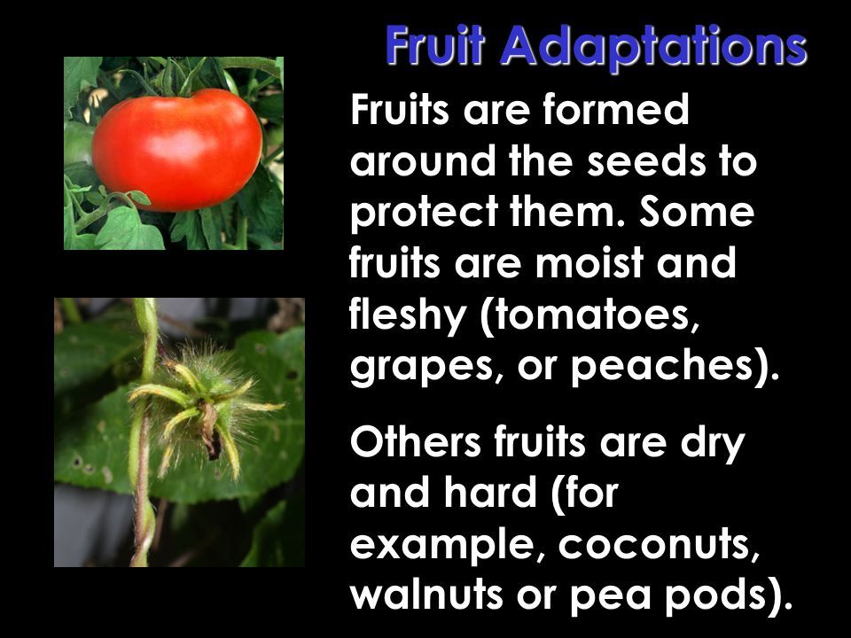 Fruit Adaptations Fruits are formed around the seeds to protect them. Some fruits are moist and fleshy (tomatoes, grapes, or peaches).