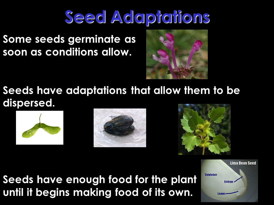 Seed Adaptations Some seeds germinate as soon as conditions allow.