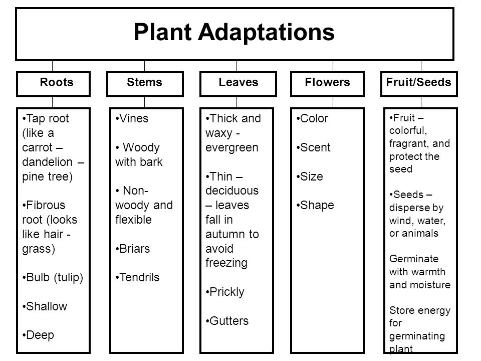 Plant Adaptations Roots Stems Leaves Flowers Fruit/Seeds