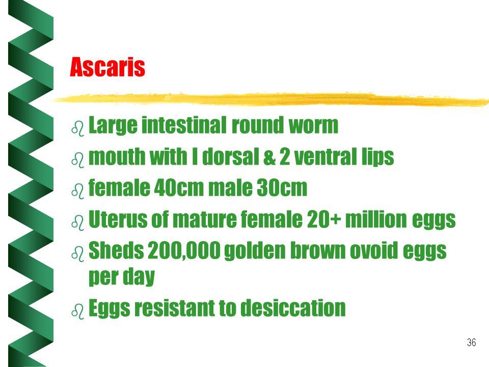 Ascaris Large intestinal round worm