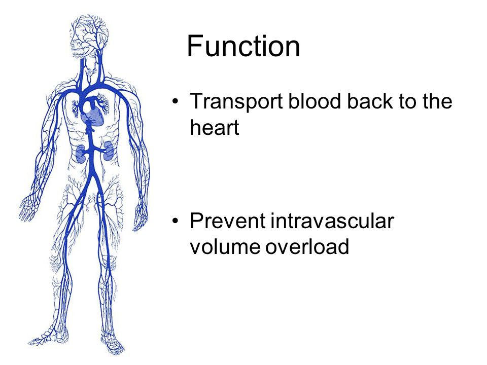 Function Transport blood back to the heart