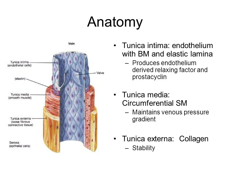 Anatomy Tunica intima: endothelium with BM and elastic lamina