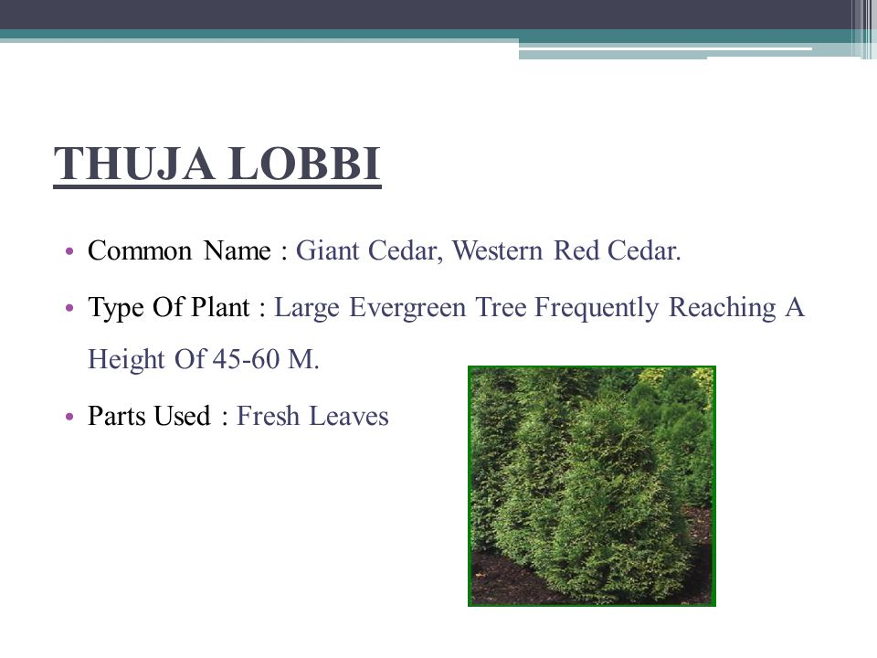 THUJA LOBBI Common Name : Giant Cedar, Western Red Cedar.