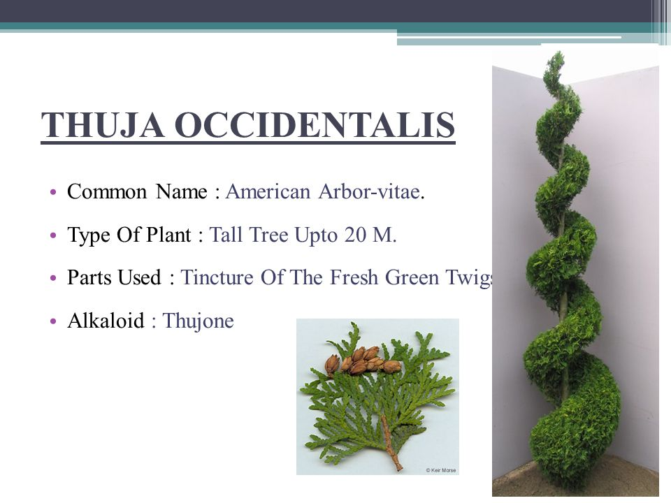 THUJA OCCIDENTALIS Common Name : American Arbor-vitae.