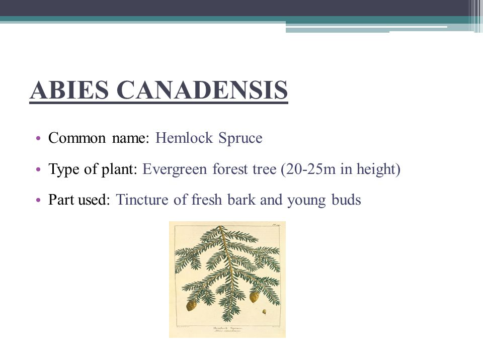 ABIES CANADENSIS Common name: Hemlock Spruce