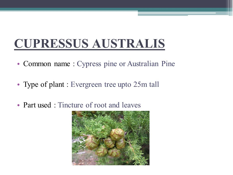 CUPRESSUS AUSTRALIS Common name : Cypress pine or Australian Pine