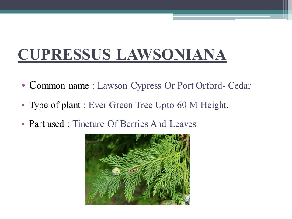 CUPRESSUS LAWSONIANA Common name : Lawson Cypress Or Port Orford- Cedar. Type of plant : Ever Green Tree Upto 60 M Height.