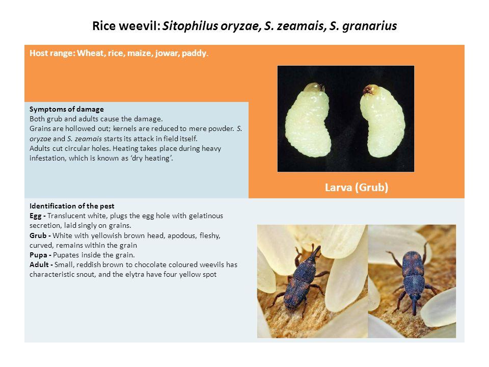 Rice weevil: Sitophilus oryzae, S. zeamais, S. granarius