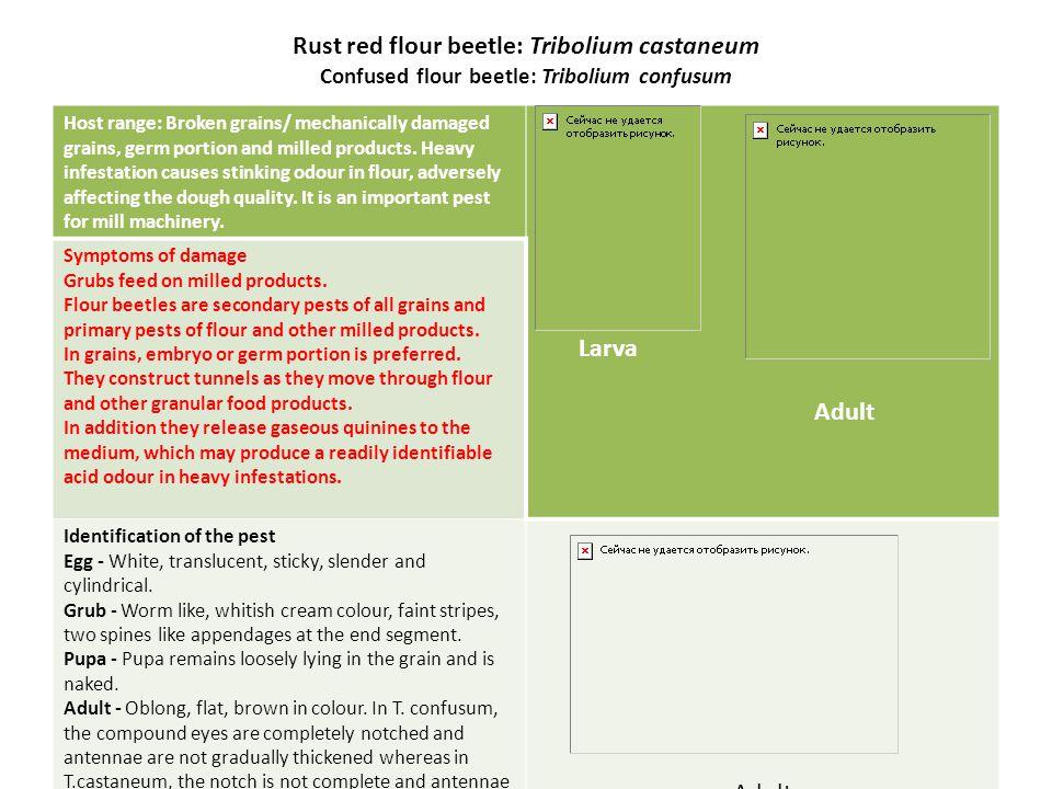 Rust red flour beetle: Tribolium castaneum Confused flour beetle: Tribolium confusum