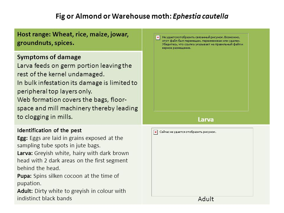 Fig or Almond or Warehouse moth: Ephestia cautella