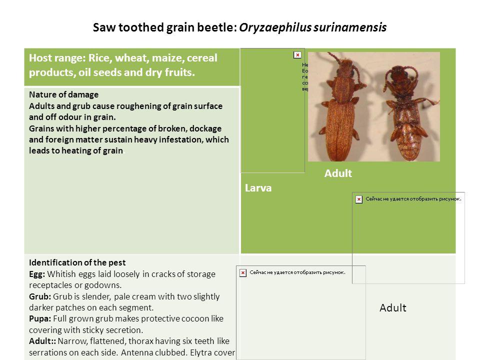 Saw toothed grain beetle: Oryzaephilus surinamensis