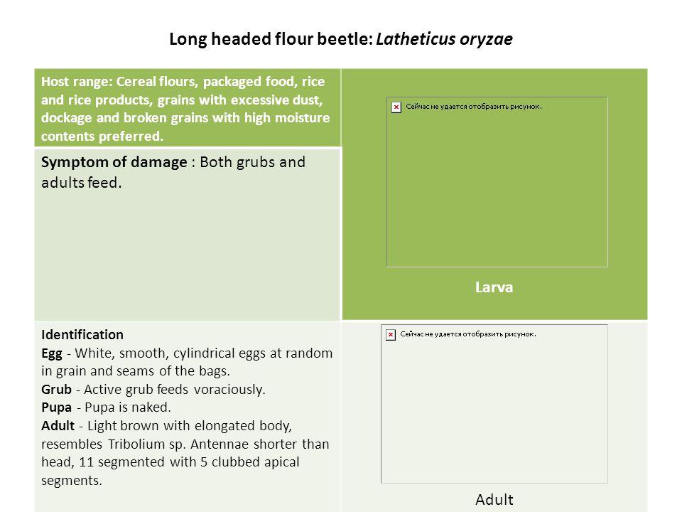 Long headed flour beetle: Latheticus oryzae