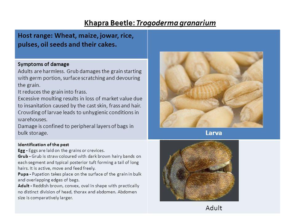 Khapra Beetle: Trogoderma granarium