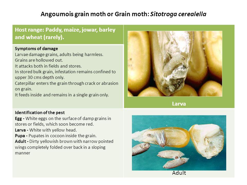 Angoumois grain moth or Grain moth: Sitotroga cerealella