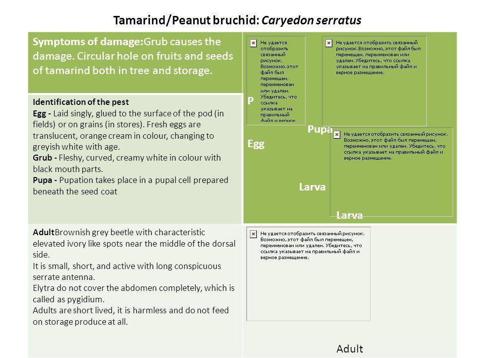 Tamarind/Peanut bruchid: Caryedon serratus