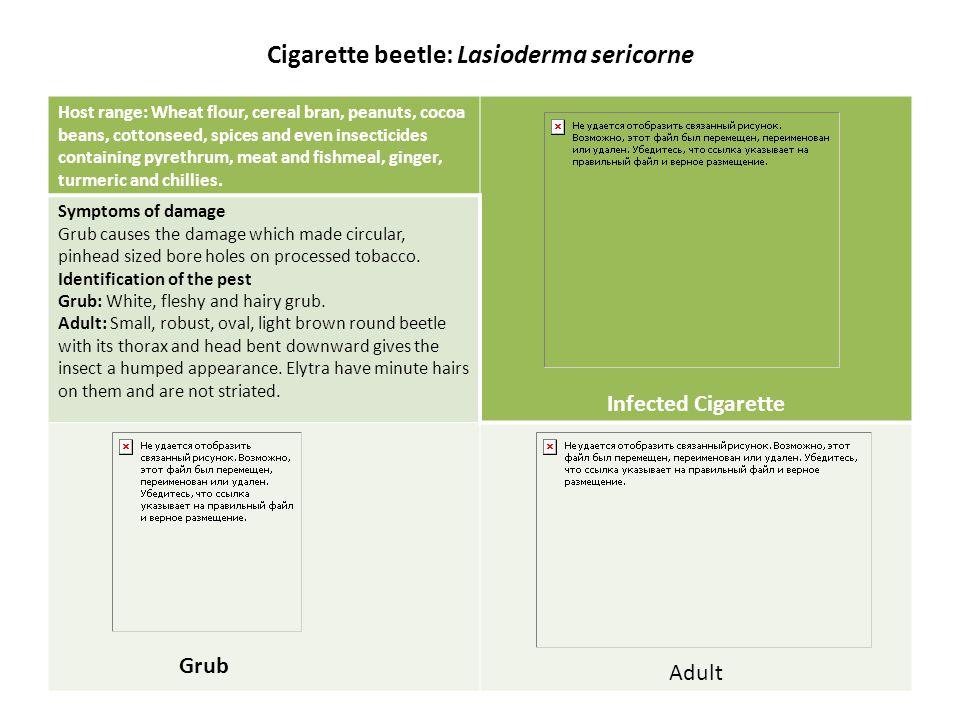 Cigarette beetle: Lasioderma sericorne