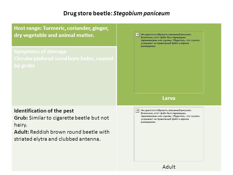 Drug store beetle: Stegobium paniceum