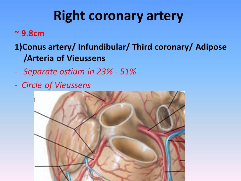 Right coronary artery ~ 9.8cm