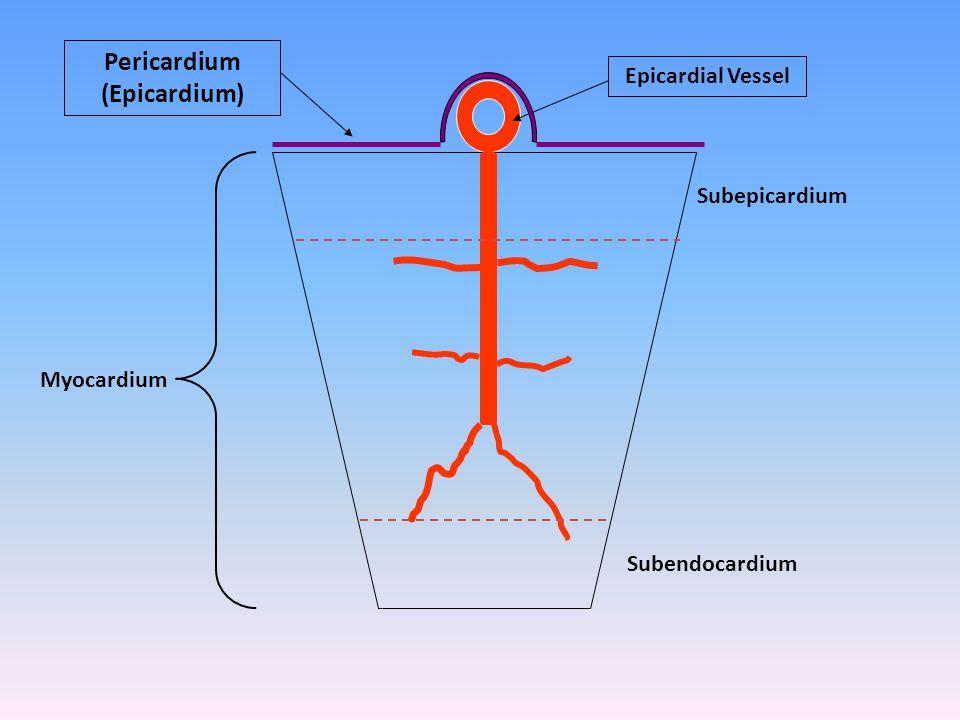 Pericardium (Epicardium)