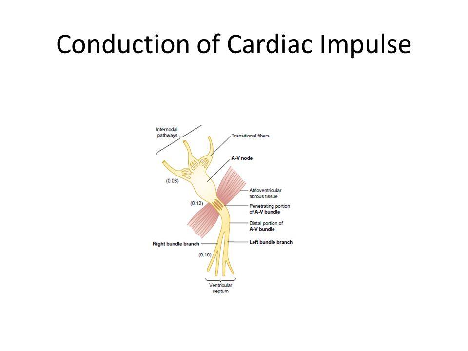 Conduction of Cardiac Impulse