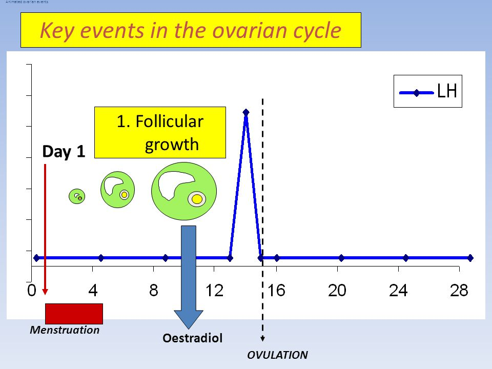Key events in the ovarian cycle