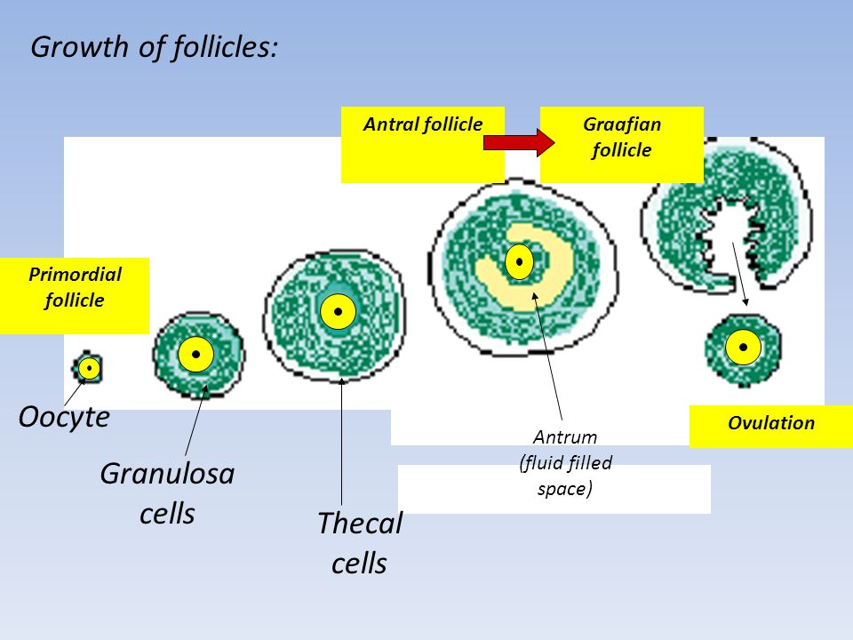 Growth of follicles: Oocyte Granulosa cells Thecal cells