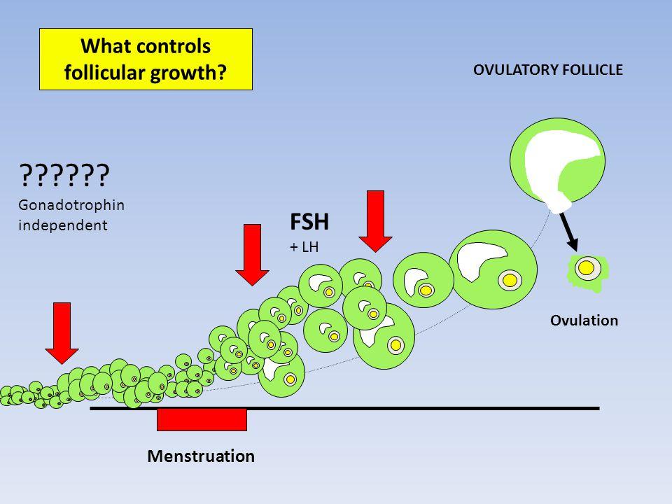 What controls follicular growth