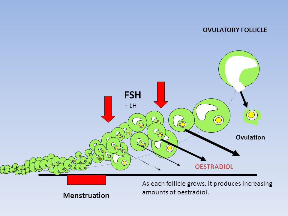 FSH Menstruation OVULATORY FOLLICLE + LH Ovulation OESTRADIOL