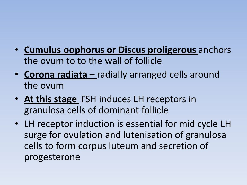 Cumulus oophorus or Discus proligerous anchors the ovum to to the wall of follicle