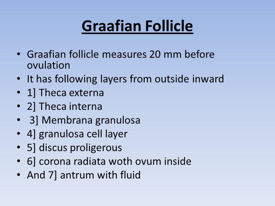 Graafian Follicle Graafian follicle measures 20 mm before ovulation