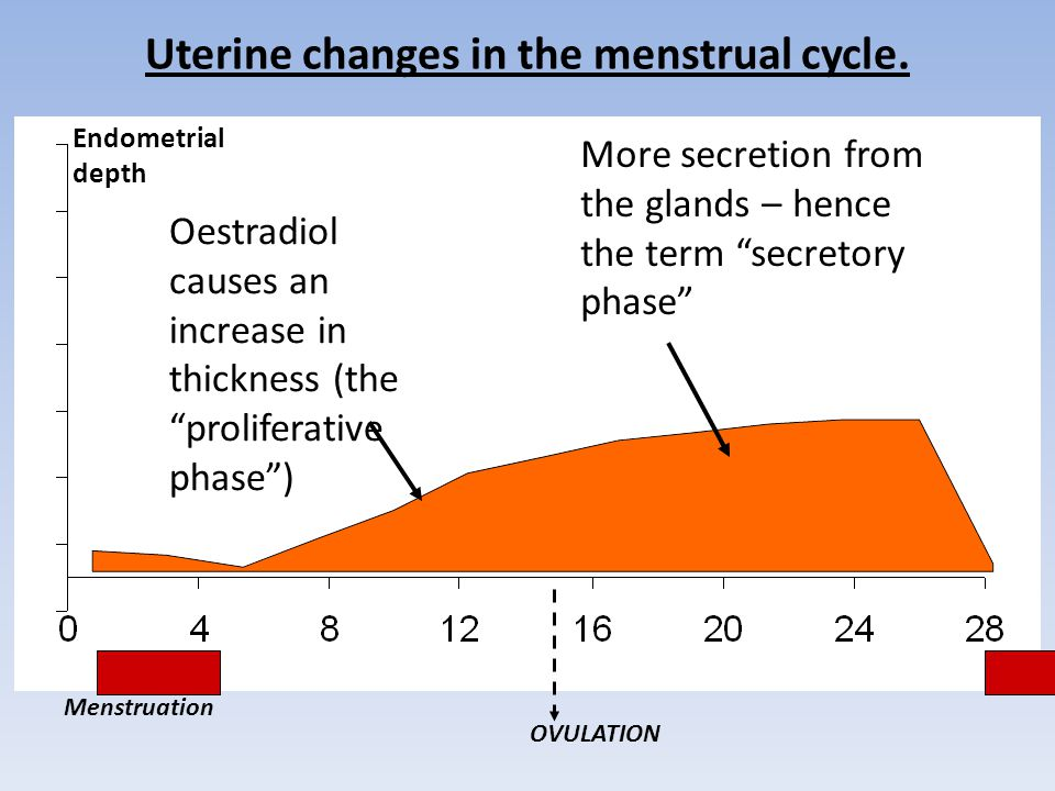 Uterine changes in the menstrual cycle.