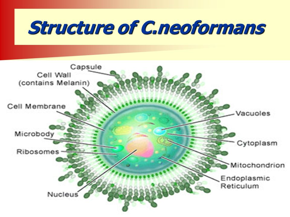 Structure of C.neoformans