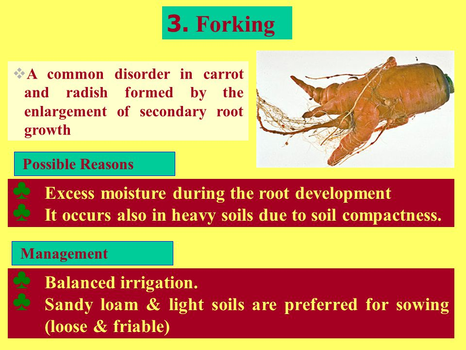 3. Forking Excess moisture during the root development