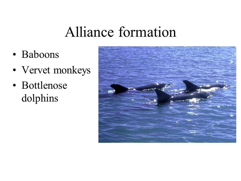 Alliance formation Baboons Vervet monkeys Bottlenose dolphins