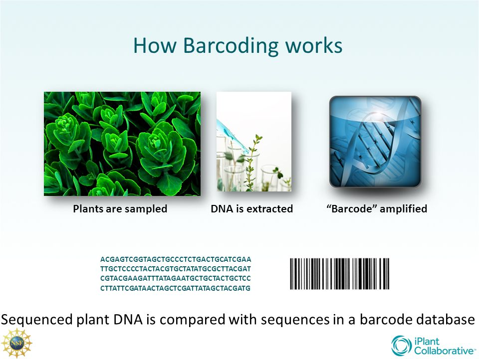How Barcoding works Plants are sampled DNA is extracted Barcode amplified.