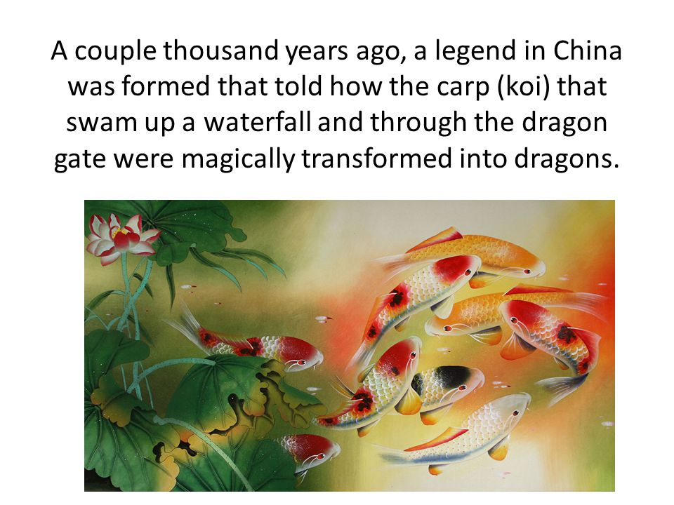 A couple thousand years ago, a legend in China was formed that told how the carp (koi) that swam up a waterfall and through the dragon gate were magically transformed into dragons.