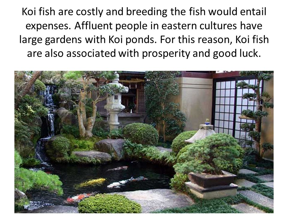Koi fish are costly and breeding the fish would entail expenses