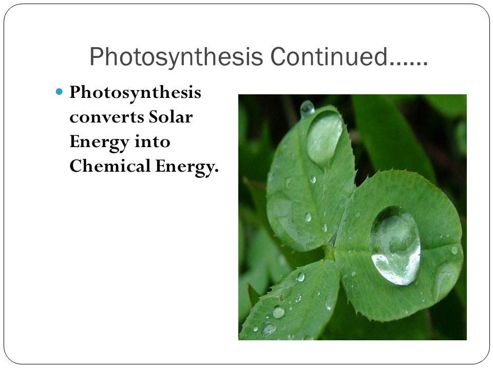 Photosynthesis Continued……
